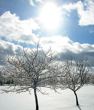 300px-Iced-tree-limbs-in-sun
