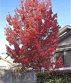 300px-Red_Maple_Crimson_Shadow