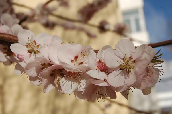 Peach blossoms in Inner Mongolia
