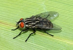 300px-Fly_May_2008-6