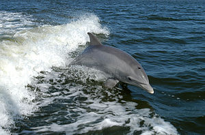 300px-Bottlenose_Dolphin_KSC04pd01783